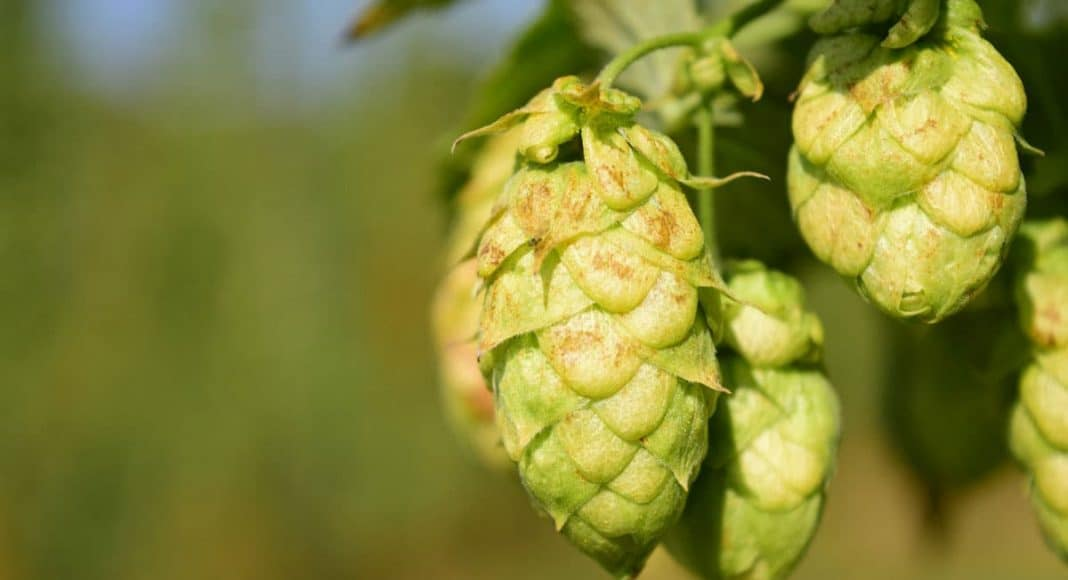 Cannabis And Hops