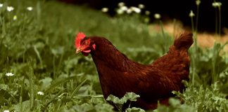 Family's Pet Chicken Dies And Gets Its Own Obituary