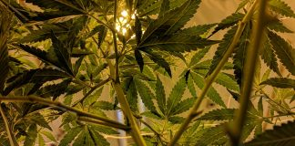 Hemp Industry Declares Victory After Settlement With DEA