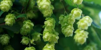 Hops Cross-Pollinated By Cannabis Make For Legal CBD