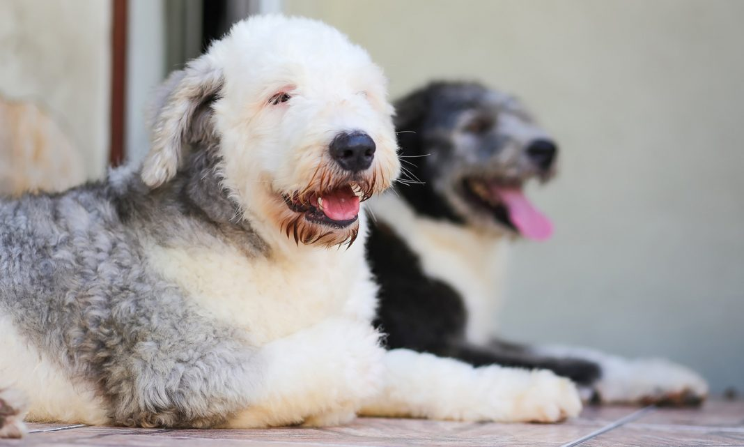 doi old english sheepdog