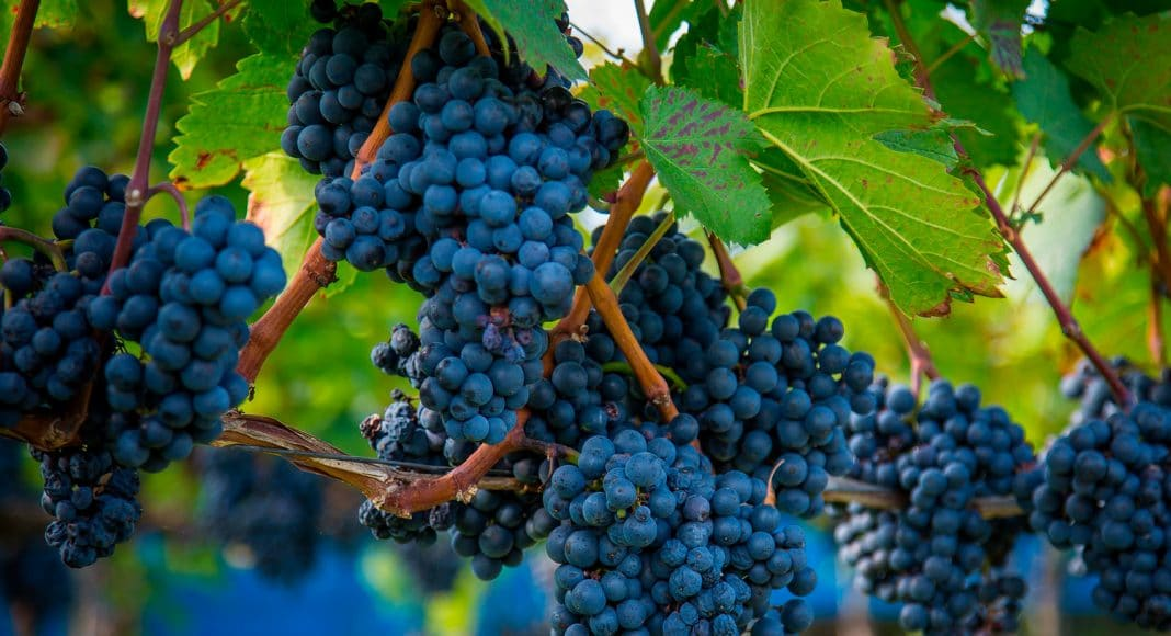 dont taint my grapes wine producers worried nearby marijuana plants will ruin crops